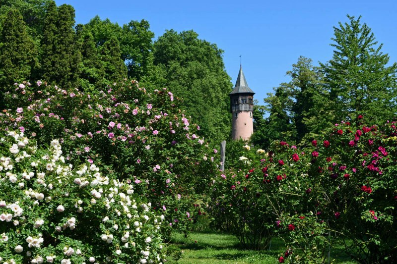 Shrub roses on Mainau island