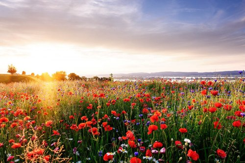 The right mood to relax: A poppy field at Ermatingen